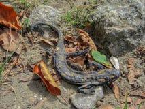 Toter getrockneter Salamander auf einem Waldweg im Herbst Rhodope-Berg, Bulgarien lizenzfreie stockbilder