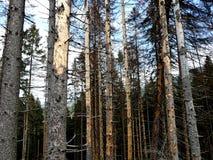 Toter gezierter Wald Lizenzfreie Stockbilder
