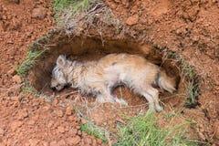 Toter Hund im Grab Stockbild