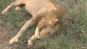 Toter Löwe auf der Savanne stock video footage