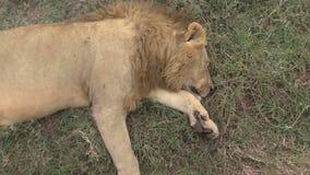 Toter Löwe auf der Savanne stock footage