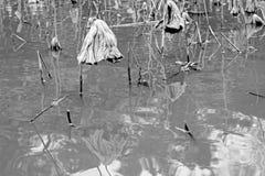 Toter Lotos im Wasser im Winter Lizenzfreie Stockfotos