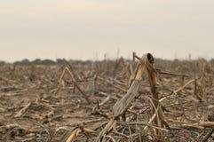 Toter Mais Lizenzfreies Stockbild