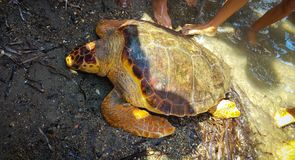 Toter Schildkröte Caretta Careta auf dem Ufer Lizenzfreies Stockbild