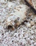 Toter Tilapia auf Trockenfischknochen in Salton-Meer stockfotografie