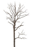 Toter und trockener Baum wird auf Weiß getrennt Stockbild