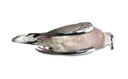 Toter Vogel beschmutzte die lokalisierte Taube Stockbilder