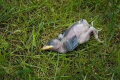 Toter Vogel, der aus den Grund liegt Lizenzfreies Stockbild