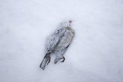 Toter Vogel im Schnee Lizenzfreie Stockbilder