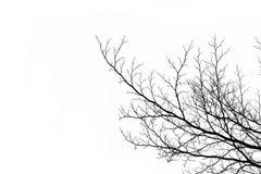 Toter Zweig auf weißem Hintergrund stockfoto