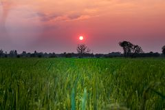 Totes Baum und Reis-Feld im Sonnenunterganghintergrund Lizenzfreie Stockfotografie