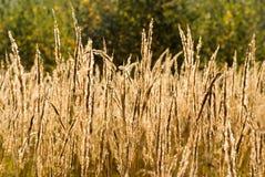 Totes Gras auf dem Gebiet Stockbild