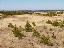 Totes Gras und kleine Fichten auf den Sandhügeln stockbild