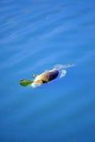 Totes Karpfenschwimmen Stockfotos