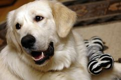 Toto. A golden retreiver with his toy Royalty Free Stock Images