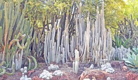Toto Cactus lanoso fotos de archivo