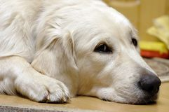 Toto sad. Sad golden retreiver Royalty Free Stock Image
