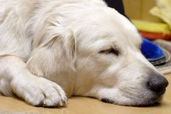 Toto sleeping. Cute golden retriever having a nap Stock Photography