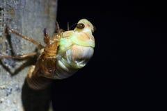 Totstandkoming van Grote Bruine Cicade Royalty-vrije Stock Foto's