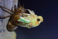 Totstandkoming van Grote Bruine Cicade Royalty-vrije Stock Fotografie