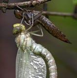 Totstandkoming van insecten Stock Foto