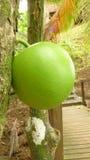 Totuma, tropiskt löst träd och frukt Arkivbilder