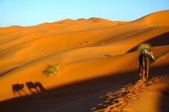 Touareg und Kamele Stockbild