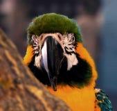 Toucan也是山姆 免版税图库摄影