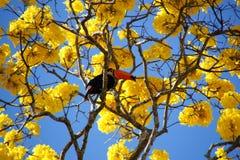 Toucan在黄色ipee栖息 免版税库存图片