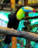 toucan开帐单的肋前缘船骨的rica 库存照片