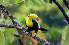 toucan开帐单的船骨 免版税库存图片