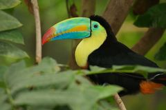 toucan开帐单的船骨 库存图片