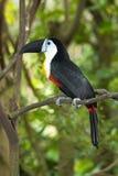 toucan开帐单的通道 库存图片