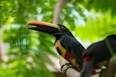 toucan抓住衣领口的aracari Pteroglossus的torquatus 库存图片