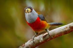 Toucan热带巨嘴鸟, Semnornis ramphastinus、Bellavista、厄瓜多尔,异乎寻常的灰色和红色鸟,从自然的野生生物场面 鸟的监视人  库存图片