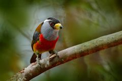 Toucan热带巨嘴鸟, Semnornis ramphastinus、Bellavista、厄瓜多尔,异乎寻常的灰色和红色鸟,从自然的野生生物场面 鸟的监视人  免版税图库摄影