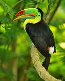 toucan的彩虹 免版税图库摄影