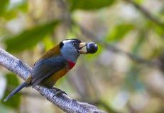 toucan的热带巨嘴鸟 免版税库存图片