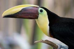 toucan的纵向 免版税库存图片
