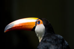 toucan的鸟 库存照片