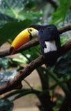 toucan的鸟 免版税图库摄影