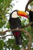 toucan的toco 库存照片