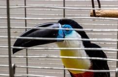 Toucan, Ramphastos vitellinus 库存图片