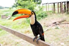 Toucan πουλί Toco boca de Valeria, Βραζιλία Στοκ φωτογραφία με δικαίωμα ελεύθερης χρήσης