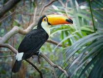 Toucan в джунглях Стоковое фото RF