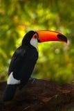 Toucan, красивая птица от Бразилии Toco Toucan, большая птица с оранжевым счетом, в среду обитания природы, Pantanal, Бразилия Ор Стоковое Изображение RF