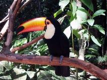 Toucan наблюдает вас стоковые фото