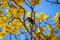 Toucan садилось на насест на желтом ipee Стоковые Изображения RF