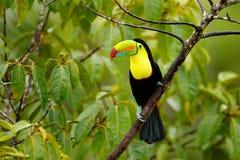 Toucan сидя на ветви в лесе, зеленая вегетация, Панама Перемещение природы в Центральной Америке Кил-представленное счет Toucan,  Стоковое Изображение