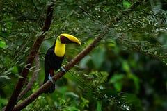 Toucan сидя на ветви в лесе, Boca Tapada, зеленая вегетация, Коста-Рика Перемещение природы в Центральной Америке Кил-Билл Стоковое фото RF